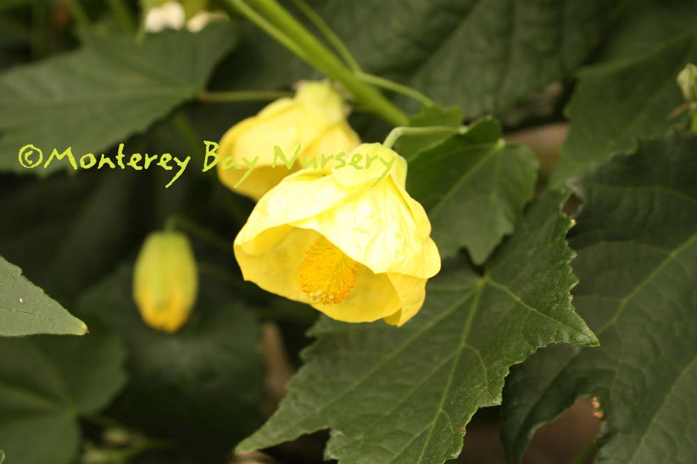 Monterey bay nursery plants a very profuse perky medium yellow flowers and fine textured medium green leaves with moderately felty undersides inhibits aphids and whiteflies mightylinksfo