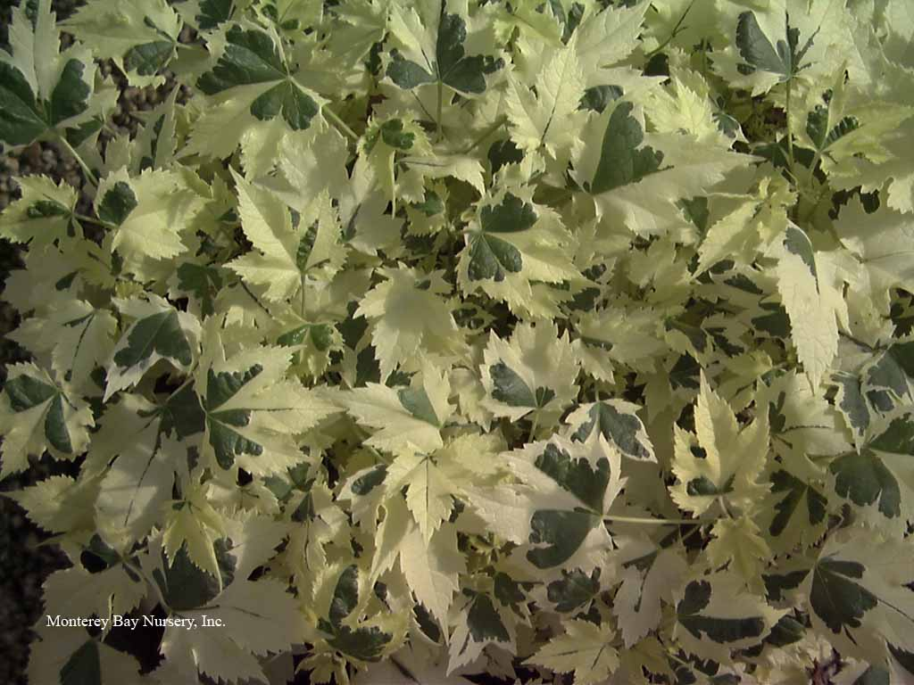 Monterey bay nurser plants a humble flowers a small dense to vining shrub to 3 5 tall more with any support unusual foliage is creamy white with a splash of green in the center dhlflorist Image collections