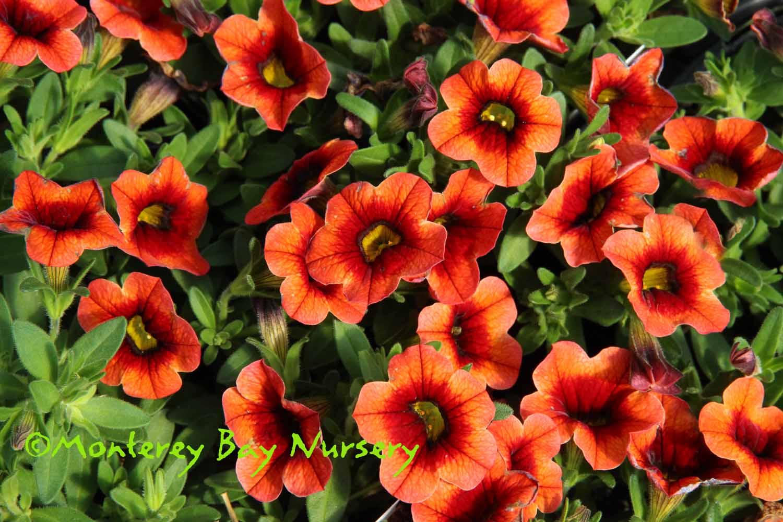 Monterey Bay Nursery plants - C