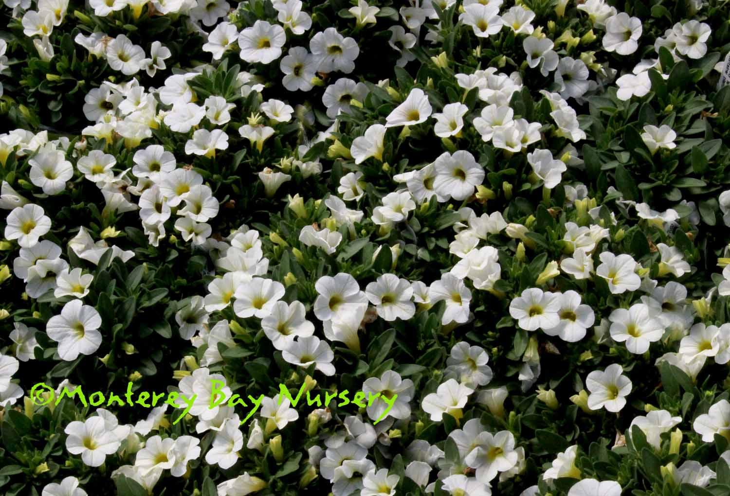 We grow petunia: difficulties and nuances