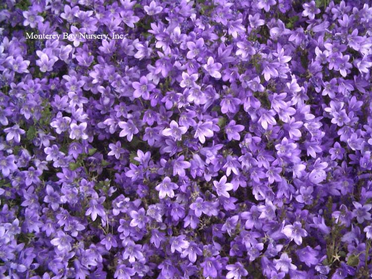 Monterey bay nursery plants c to trailing evergreen to deciduous perennial to 6 tall spreading with age dark purple blue bell shaped flowers to 1 long appear most of the year mightylinksfo