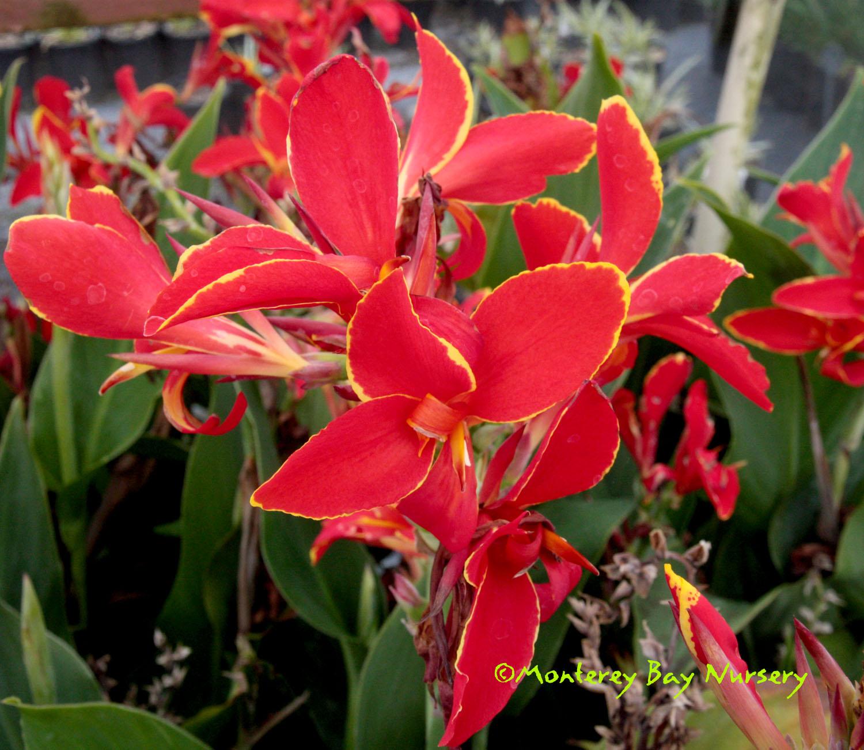 Monterey Bay Nursery plants   C