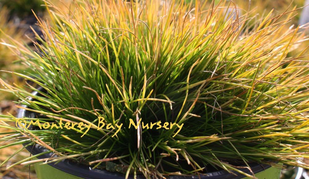 Monterey Bay Nursery plants - D
