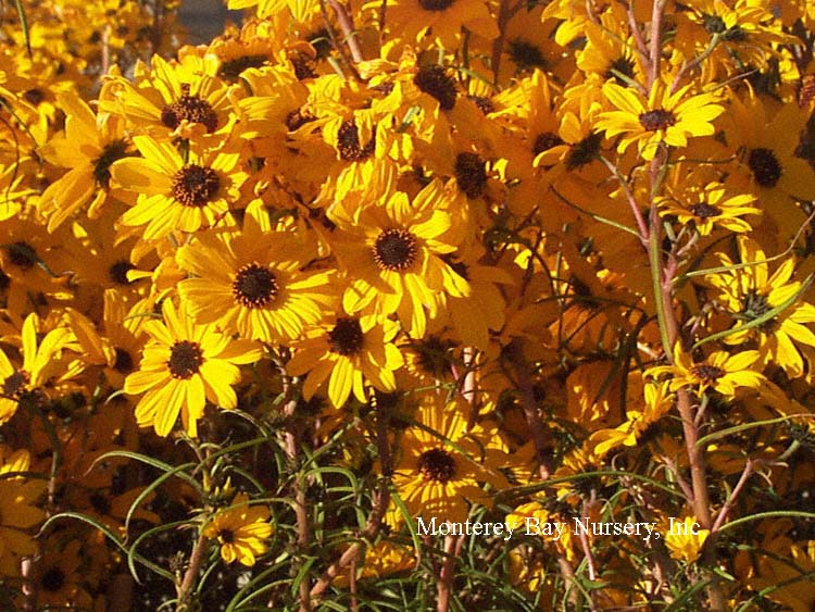 Monterey bay nursery plants h flowers en masse a deciduous perennial to 3 bearing a heavy show of tall terminal sprays of dark yellow flowers to 2 across with dark centers mightylinksfo