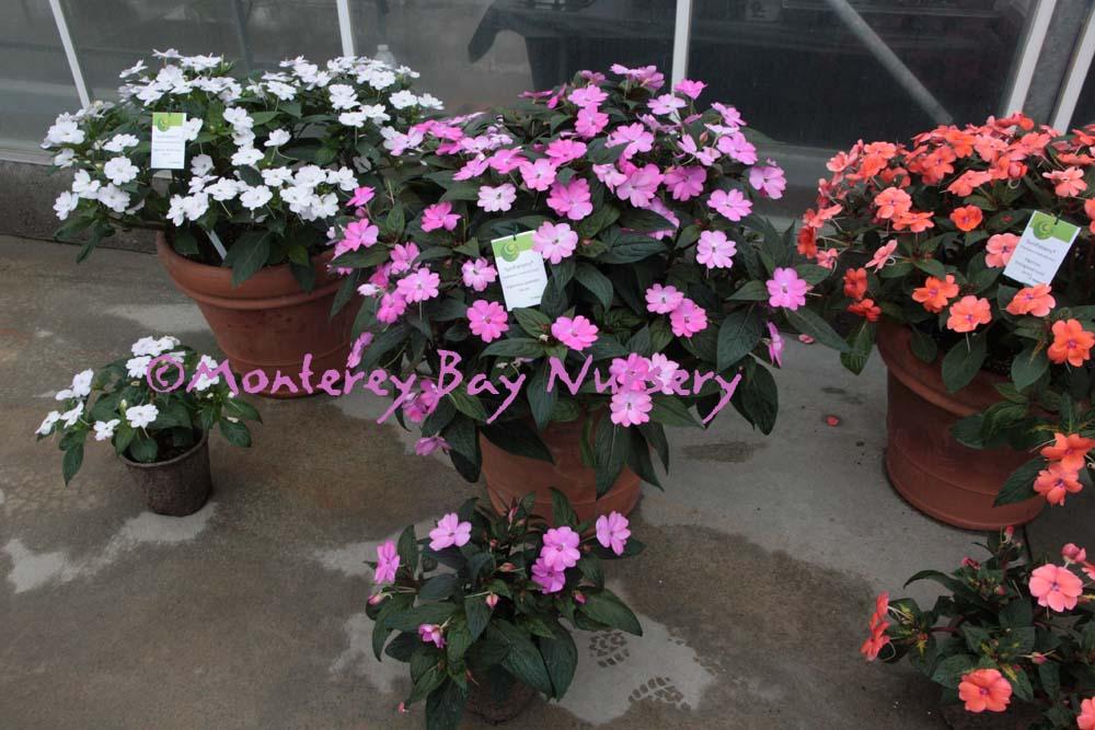 Monterey bay nursery plants i sunpatiens vigorous lavender mightylinksfo