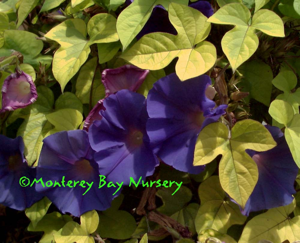 Monterey bay nursery plants i the incredible spectacular golden foliaged version of the peerless perennial blue dawn morning glory with the gold and blue colors inspiring a name izmirmasajfo