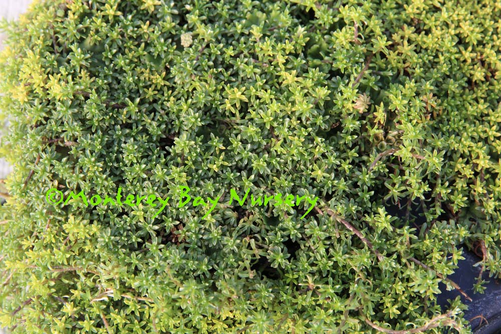 And Low Growing Mat Comprised Of Tiny Green Leaves That Cover The Ground To A Height 1 4 Grow In Very Well Drained Soil Container Or Real