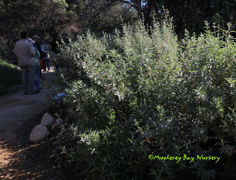 Monterey Bay Nursery Plants S