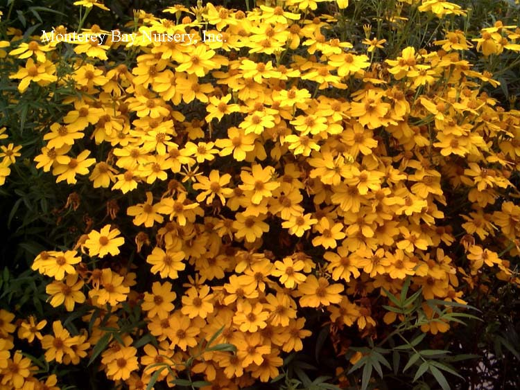 Monterey bay nursery plants t for its absolutely spectacular display of deep golden yellow flowers that absolutely cover the plant from late summer or early fall through late spring mightylinksfo