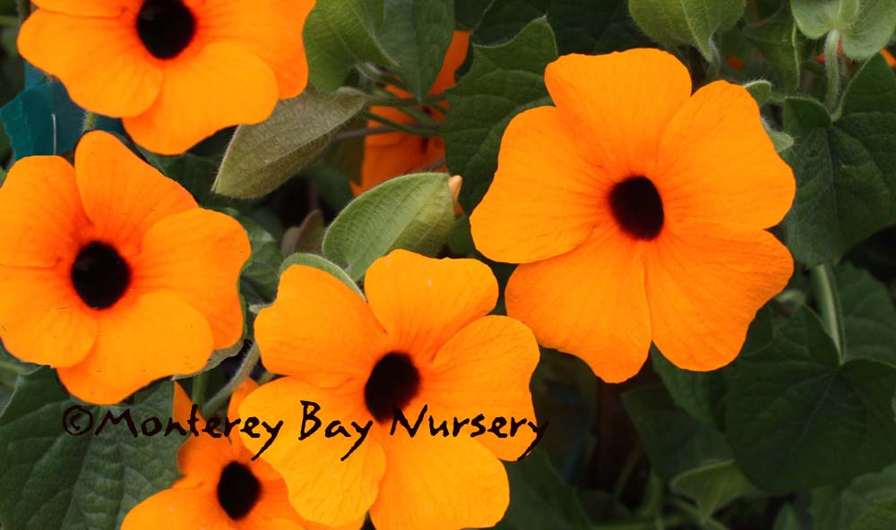 Monterey bay nursery plants t little orange flowers with a dark eye come on a twining vine that can scramble up a fence hang from a basket or cover the ground mightylinksfo Gallery