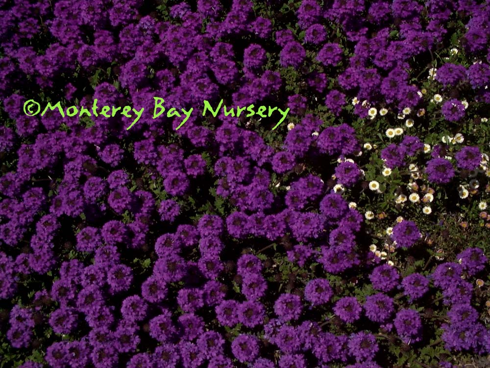 Monterey bay nursery plants v grows as an herbaceous perennial groundcover evergreen in milder areas bears large spikes of rich purple flowers from spring through late fall mightylinksfo Gallery